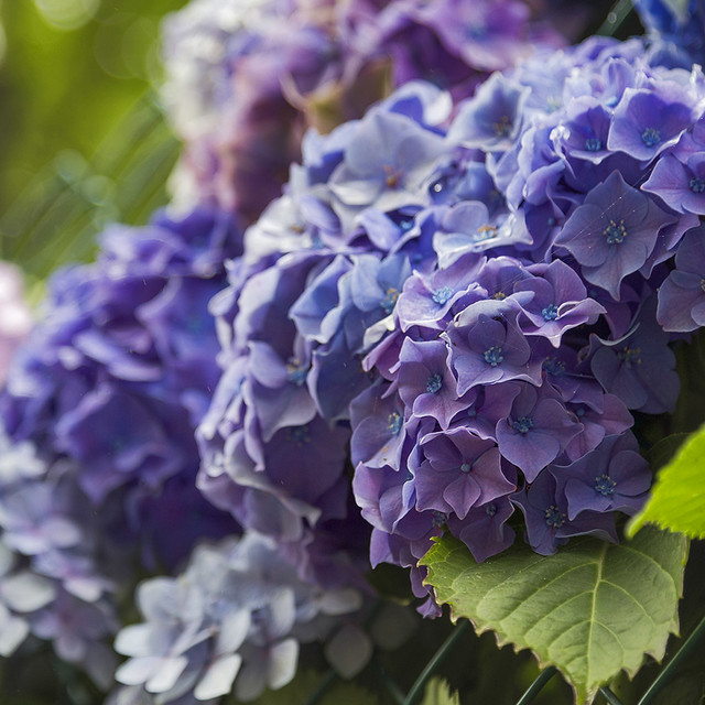 Hydrangeas - Happy week! ;-)