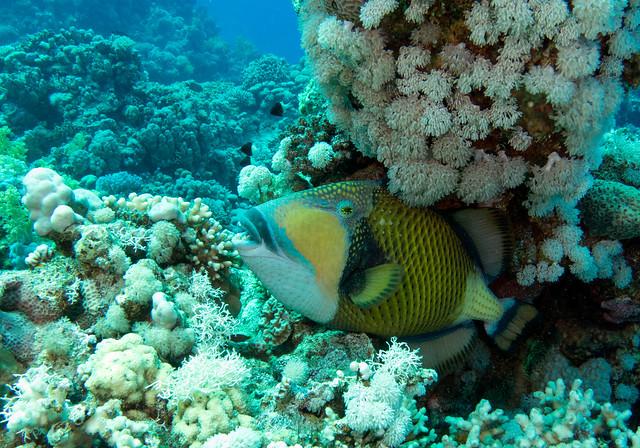 Titan Triggerfish, Balistoides viridescens, Jackfish Alley, Ras Mohammad, June 2015