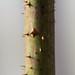 Close-up shot of rose thorns
