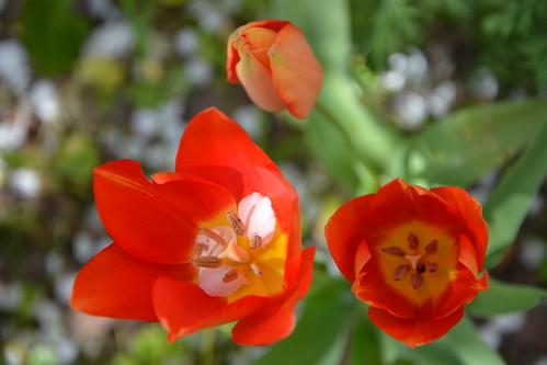 Tulipa - espèces et petits hybrides (sections 12 à 15) 33008896286_670e664a17