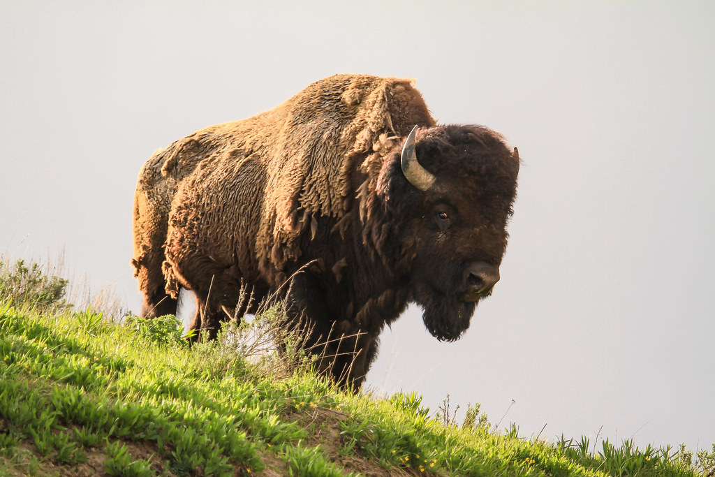 Bison | Bison, Yellowstone National Park. NPS Photo/David Re… | Flickr