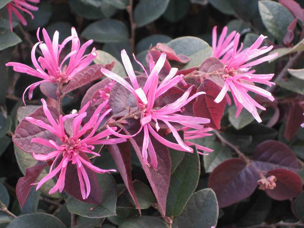 紅檵木Loropetalum chinense v rubrum [香港荔枝角公園Lai Chi Kok Par… | Flickr