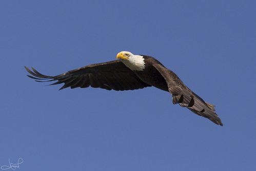 Bald Eagle, Comox, BC | by tsaiproject