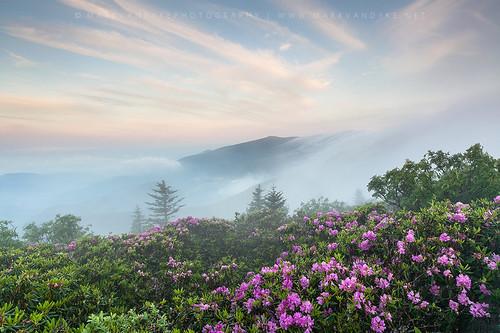 pink mountain fog sunrise landscape outdoors dawn early nc purple tn tennessee seasonal foggy scenic magenta peak northcarolina rhododendron bloom roan wnc easterntennessee westernnorthcarolina roanmountain catawbarhododendron roanhighlands markvandyke