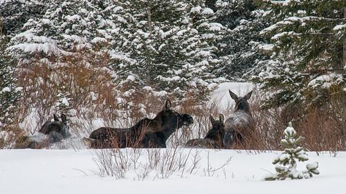 trees winter snow nature landscape snowshoe nikon montana wildlife moose hike trail 2014 cookecity silvergate sodabuttecreek absarokabeartooth bannocktrail dailynaturetnc13 photoofthedaynwf13 dailynaturetnc14 photoofthedaynwf14