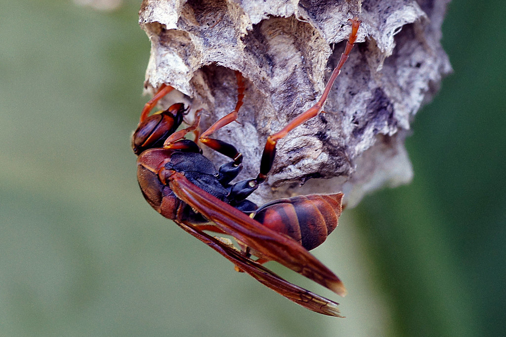 A red wasp on a nest