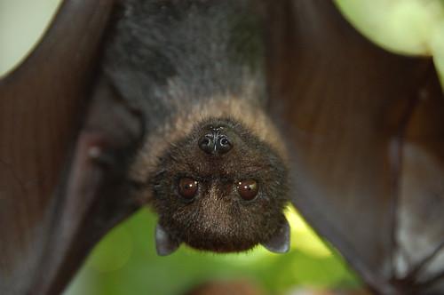 Juvenile Mariana Fruit Bat