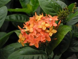 橙紅龍船花 Ixora coccinea [香港動植物公園 Hong Kong Botanical Garden]