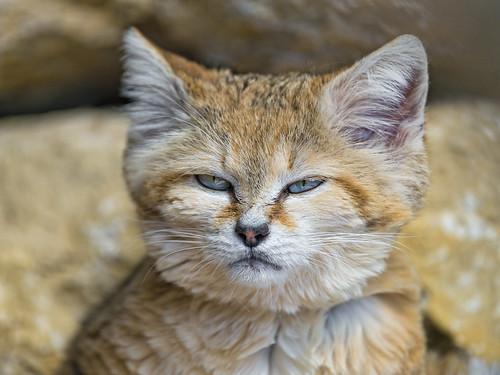 Portrait of a sand cat   by Tambako the Jaguar