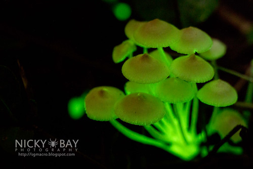 Bioluminescent Fungi (Filoboletus manipularis?) - DSC_2500   by nickybay