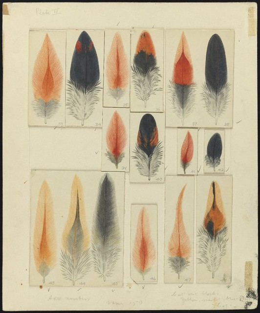 Original Artwork Showing Feathers, from Article in Transactions of the Royal Society of Edinburgh v.59, n.d.  'Studies in Plumage in the Male Brown Leghorn Fowl', pl.IV (p.178)