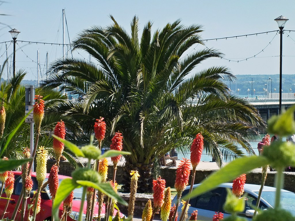 Canary Island Date Palm & Torch Lillies Torquay
