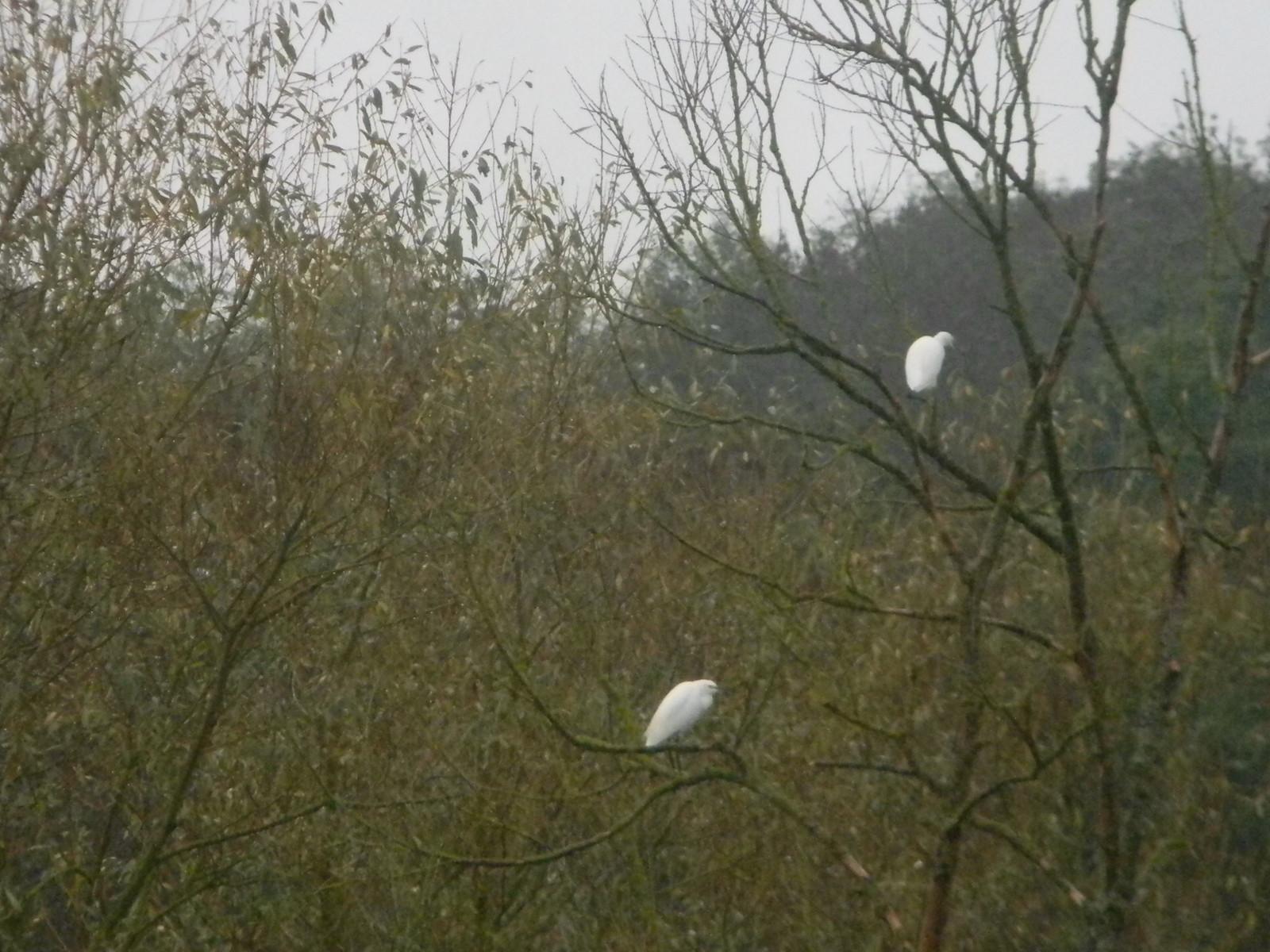 Little Egrets Chorleywood to Chesham
