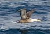Waved Albatross - near Isla Floreana, Galapagos, Ecuador by Vivek Khanzodé (www.birdpixel.com)