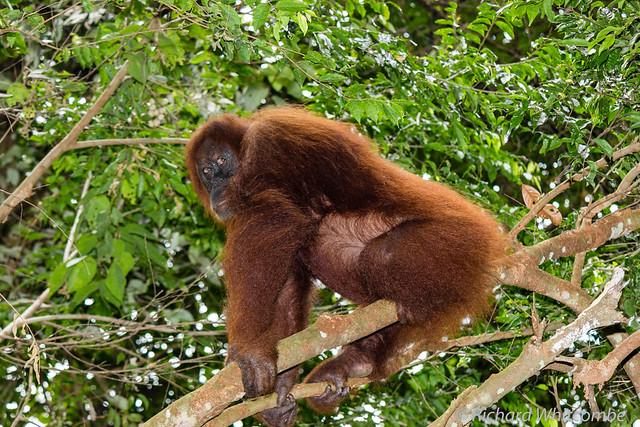 Female Orangutang in the rain forest