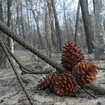 burnt pine forest