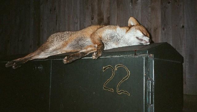 Dead Fox 22