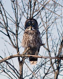 Great Gray Owl (Strix nebulosa) | by Sharon's Bird Photos