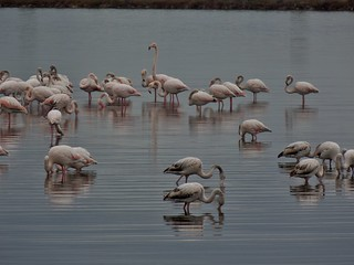 Flamingos (Phoenicopterus roseus) at Korba Lagoon near Nabeul, Tunisia - December 2013 | by SaffyH
