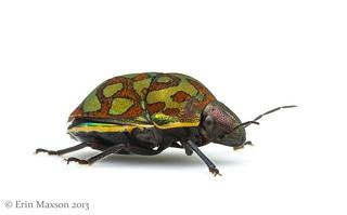 Belize shield-backed bug