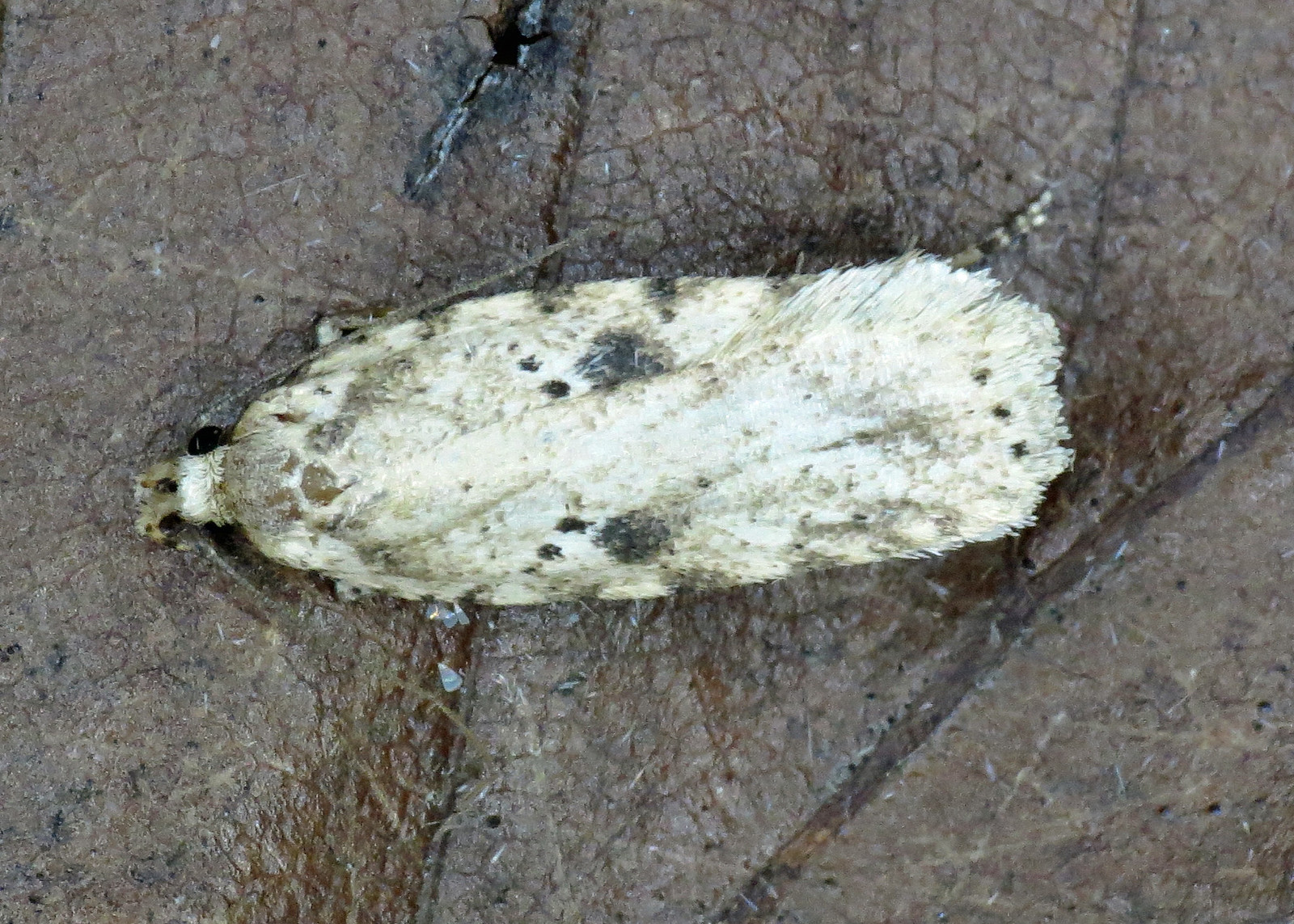 697 Agonopterix arenella