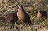Brown Quail (Coturnix ypsilophora) group (covey) Jerrabomberra Wetlands, A.C.T. by Steve J Chivers