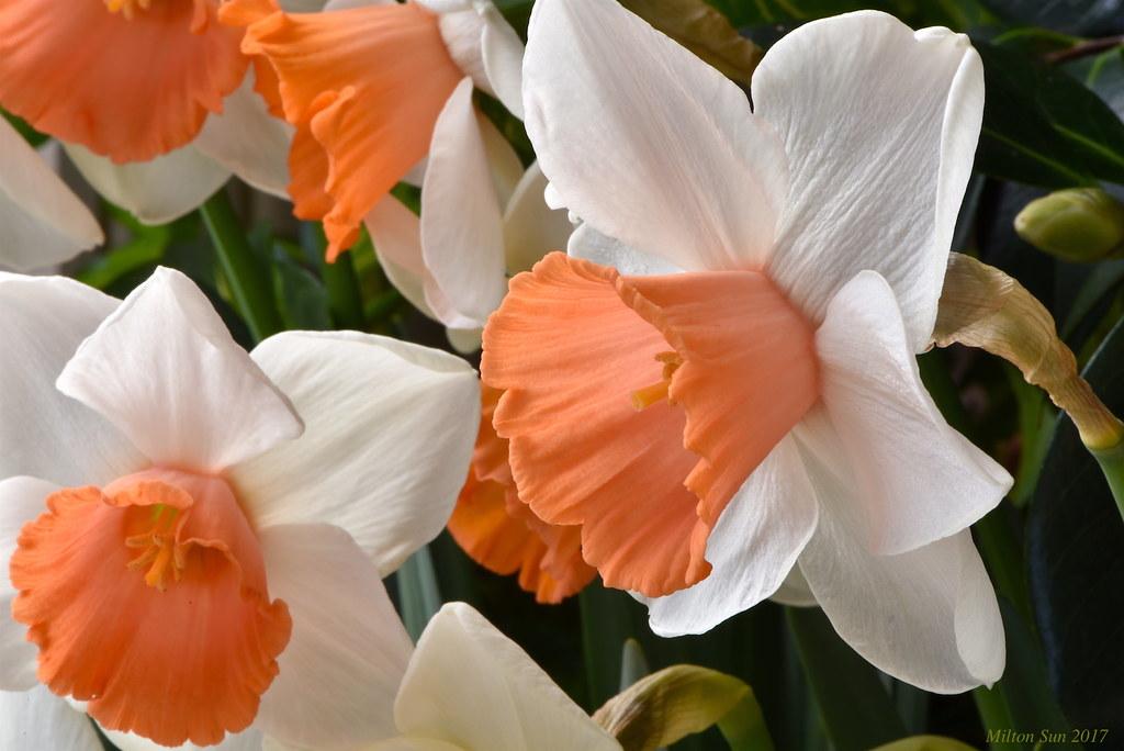 Spring - Daffodils 2