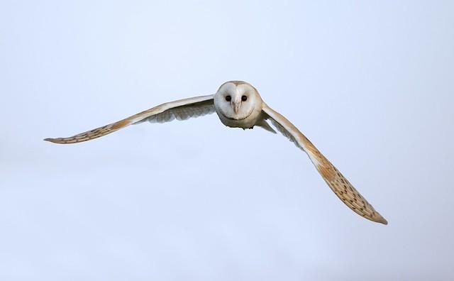 Barn Owl v (Tyto alba)