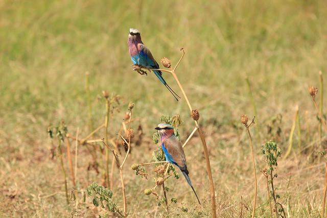 A pair of lilac-breasted-rollers - Maasai Mara, Kenya, 2012