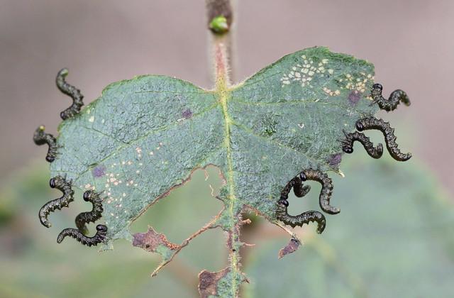 small sawfly/larva , explored! ( #447 )