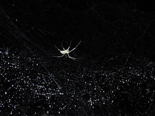 fauna hawaii spider arachnid hi cave mountainview bigisland lavatube unidentified araneae cavespider kazumuracave nesticidae nesticellamogera nesticella kazumuracavetours