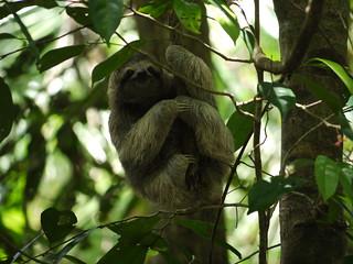 Three toed sloth | by Magnus Bråth