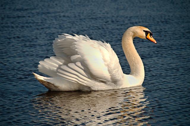 Swan enjoying early spring
