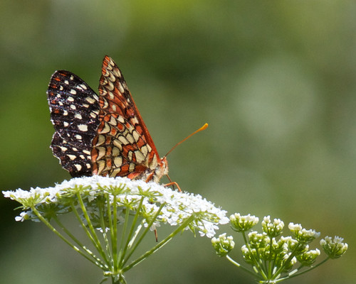 Checkerspot butterfly | by Tom Clifton