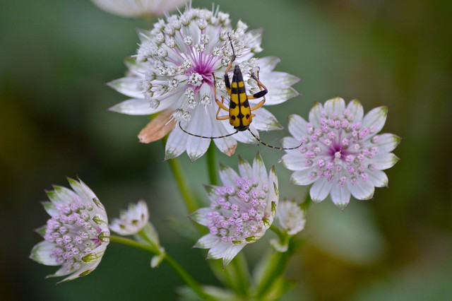 flowers with yellow and black longhorn beetle