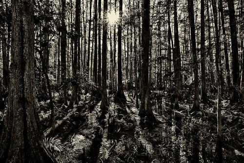 trees swamp hammock cypress hdr floridastatepark ericseibert
