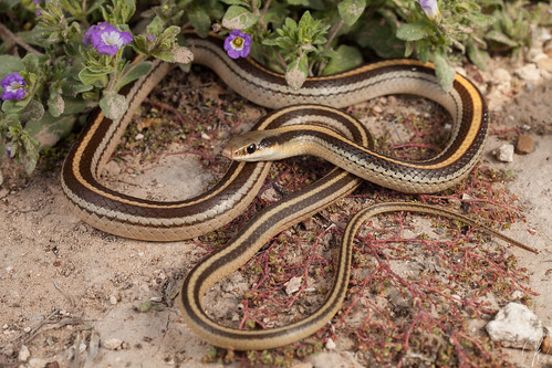 Salvadora grahamiae lineata (Texas Patchnose Snake) | by Kyle L.E.