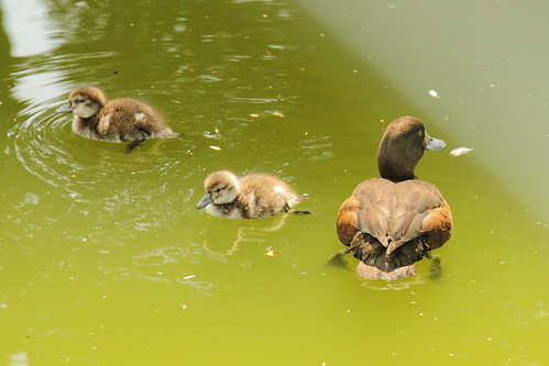 duck family 2 | by Journey of A Thousand Miles