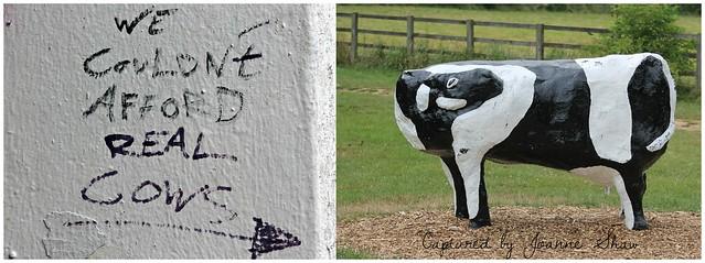 IMG_3646N  WTF??? Real Cows