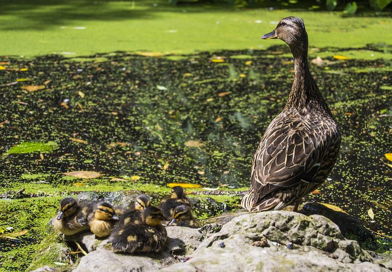 Duck & Chicks