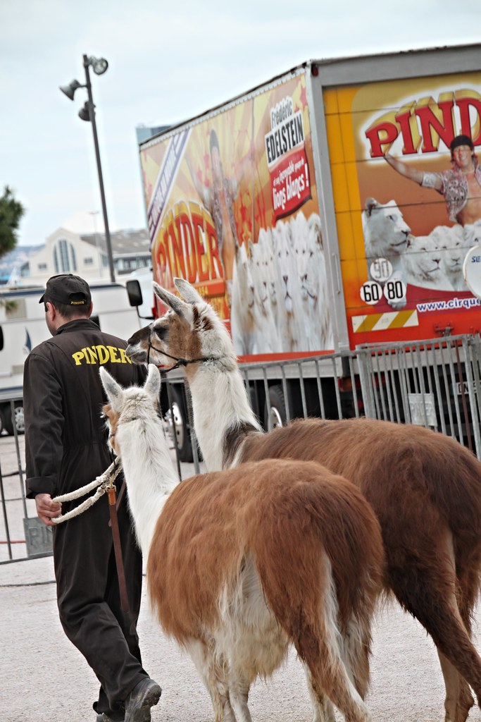 Lamas en sortie, Pinder au Mucem, Marseille