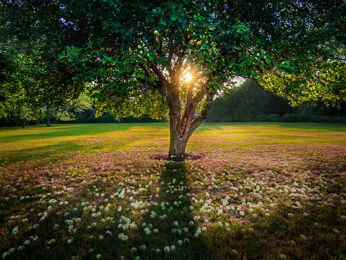 Sawyer Apple Tree at Sunset.jpg