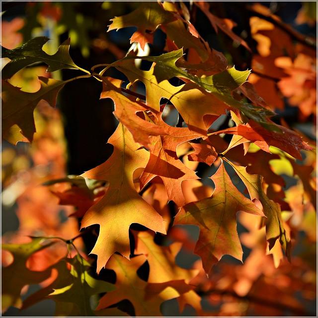 Oak leaves in morning light 10 9 2013