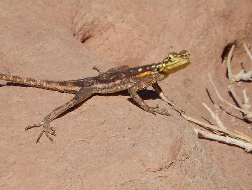 Twyfelfontein - hagedis