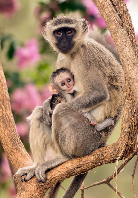 Vervet Monkey, Chlorocebus pygerythrus, Turk Mine, Zimbabwe