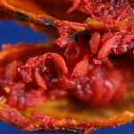 IMG_0024 梔子 Gardenia jasminoides