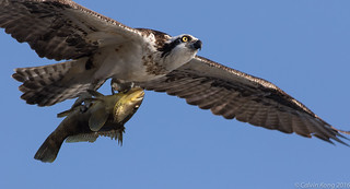 Osprey with a Fish   by cal.kong