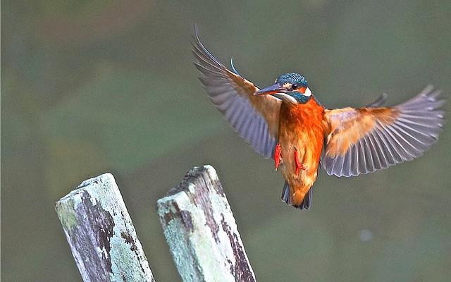 Common Kingfisher air brake at mid air