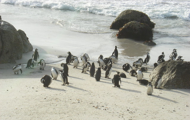 African Pinguin
