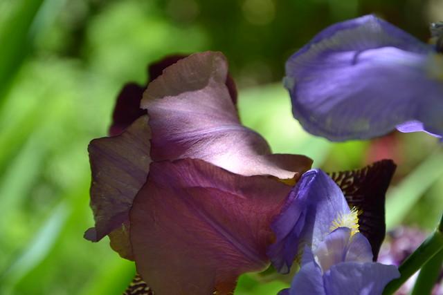 Iris 'Voltigeur' - Ferdinand Cayeux 1934 8750286943_980e138876_z